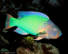 Rainbow Parrot Fish, credit Maryke Kolenousky